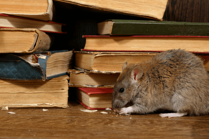 Get Rid of Books, Mouse Chewing on Books